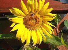 Sunflower by John DeWitt Toddler Play, Kindergarten, Activities, Nature, Plants, Montessori, Language, Gardening, Autumn