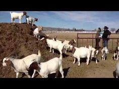 Evelyn Simon, of Hagerman, raises boer goats at the family farm. Read the story by Andrew Weeks about the challenges and joys of breeding the animals Sunday at Magicvalley.com. (Video by Andrew Weeks)