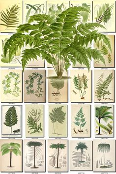 FERNS-8 Collection of 181 vintage images Asplenium Osmunda