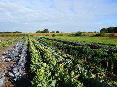 Kolmannes Suomen luomumyynnistä tulee hedelmistä ja vihanneksista. Kuvassa Hollantilainen CSA (Community Supported Agriculture) -luomutila eli suomeksi kumppanuusmaatalous projekti.
