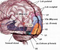 cortex-vizual