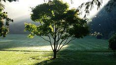 Good morning moonleaf maple Lakeridge Gardens, adrian mi