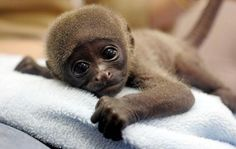 These adorable baby monkey pictures will make even the worst days better 🙂. So Cute Baby, Cute Baby Monkey, Cute Monkey, Cute Baby Animals, Cute Babies, Funny Animals, Monkey Monkey, Animal Babies, Cute Creatures