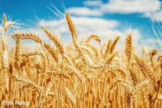 Find Gold Wheat Field Blue Sky stock images in HD and millions of other royalty-free stock photos, illustrations and vectors in the Shutterstock collection. Thousands of new, high-quality pictures added every day. Champs, Growing Wheat, Wheat Fields, Grain Foods, Eating Organic, Celiac Disease, Nutritional Supplements, Change The World, Natural Health
