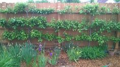 "Base on MES111's advices, I've re-worked my 4 year old espalier apple trees this past weekend. The ""crown"" is pruned down to 1""-2"". Below are the ""before"" and ""after"" of the work. Hopefully I get it right this time and get me fruits next year! Or at least some flower to prove that I did it right! I've also just read that Alan's (Harvestman) advice to cut the big fat stubs down to the main arms to recycle its fruiting woods. Does it ..."