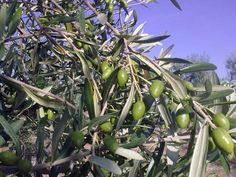 Coratina olives