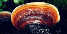 Ganoderma Lucidum Reishi per il diabete Stuffed Mushrooms, Health, Food, Fungi, Meal, Health Care, Essen, Salud, Stuff Mushrooms