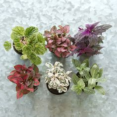 """Terrarium Plant Collection, Low Plants for Terrariums ~ """"Hand-selected especially for terrain, this set of low plants makes it easy to fill a shallow terrarium. Chosen for their beautifully varied colors and textures, these tropical plants will thrive in both open air and closed vessels."""""""