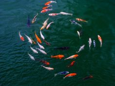 Koi fish swimming in a circle