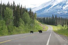 """One would expect to see a mother bear and her cub in a mountainous area with lots of trees. Earlier this month, however, residents saw a 450 pound black bear in a suburb located 15 miles southeast of Cleveland, Ohio. The point: campers need to be aware that their campsites may be """"visited"""" by bears. Therefore, don't leave food or garbage lying around your campsite, create a """"bear hang"""" for your food if you do not have access to a shelter have sturdy containers, and always carry pepper spray."""