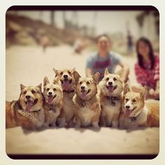 CORGIS!!!! This is the cutest pic of Corgis I have ever seen