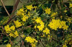 Winter jasmine/jasminum nudiflorum for east end to hang over the edge