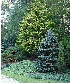 Use Dwarf Conifers For A Big Forest Feel