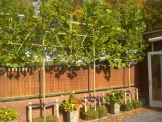 plataan scherm pot - Google zoeken Garden Yard Ideas, Garden Inspiration, Garden Plants, Helpful Hints, Home And Garden, Outdoor Structures, Patio, Lei, Yards