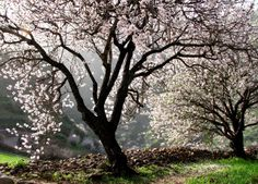 Cherry trees in Gran Canaria, Spain. Cherry Tree, Spain, Photo And Video, Parks, Photograph, Trees, Gardens, Beautiful, Photos