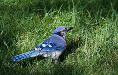 Looking Back At You - Bluejay by Cherylorraine Smith. Kinds Of Birds, Cute Birds, Blue Jay, Bird Feathers, Beautiful Birds, Looking Back, Wild Things, Dinosaurs, Rainbows