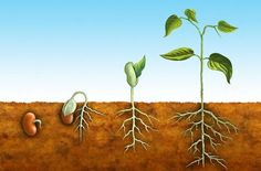 Illustration about The germination process for a bean plant. Illustration of germination, embryo, root - 8456410 Hydroponic Gardening, Hydroponics, Container Gardening, Plant Lessons, Living And Nonliving, Preschool Garden, Bean Plant, Seed Germination, Plant Science
