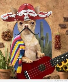 Cinco de Mayo chihuahua- let me sing a cancion for you!