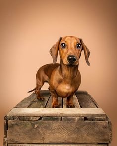 the Mutley's who've had an studio pet photography session. Sessions take place at our Larbert studio near Falkirk, Stirling and Glasgow. Glasgow, Puppy Pictures, Dog Photos, Equine Photography, Animal Photography, Photography Portraits, Weenie Dogs, Pet Dogs, Lab Puppies