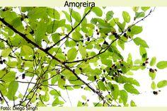 O Milagre do Chá de Folhas de Amoras | Notícias Naturais