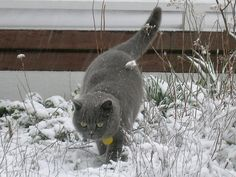 British Blue. Chester the Puss - snow in the Macedon Ranges
