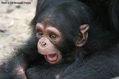 Infant chimpanzee at the Tchimpounga Sanctuary, Republic of Congo. Chimpanzee, Orangutans, Primates, Mammals, New World Monkey, Types Of Monkeys, Magnificent Beasts, Ape Monkey, Little Monkeys