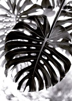 Leaves / Black and White Photography Mode Poster, Monstera Deliciosa, Black N White, Black And White Leaves, White Leaf, Jolie Photo, Wall Collage, Black And White Photography, Planting Flowers
