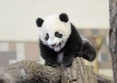 baby panda bear