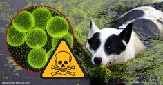 A summertime hazard many pet owners aren't aware of is toxic blue-green algae, which are found in freshwater lakes, streams and ponds. http://healthypets.mercola.com/sites/healthypets/archive/2017/06/14/toxic-blue-green-algae.aspx?utm_source=petsnl&utm_medium=email&utm_content=artTestHP_B2&utm_campaign=20170605Z1&et_cid=DM145631&et_rid=2031935972