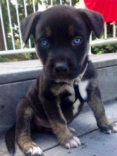 Pitbull and Husky mix ♡ Those blue eyes! Pitbull and Husky mix ♡ Those blue eyes! Little Puppies, Cute Puppies, Cute Dogs, Dogs And Puppies, Puppies Tips, Cute Baby Animals, Animals And Pets, Funny Animals, Beautiful Dogs