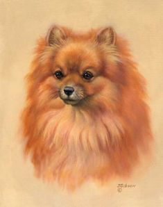 Judy Gibson's illustration of a Volpino. The only one I know of is the Italian Volpino, which has a wonderful breed description, but is bred mostly from Italy. A spitz-like breed, an adult weighs around 10 lbs. In photos, I've only seen them in solid white, but they can be champagne. There were once reds too, but that color is believed to be extinct. Great toy breed. Look up it's character and care. If you go to Italy to get one, get one for me.