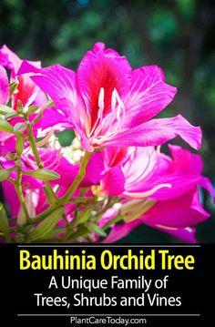 Pink//Purple Orchid Flowering Tree Camel/'s Foot 10//100 Seeds Bauhinia Purpurea