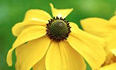 Elegant och magnifik på samma gång är höstrudbeckia, Rudbeckia laciniata 'Juligold', med hängande kronblad. Trots att den kan bli manshög och har ett förfinat yttre står den stadigt upprätt, även efter en storm. Är graciös och passar bra där man vill ha höjd i rabatten utan att det blir kompakt. Höstrudbeckia har sitt ursprung i Nordamerika. Blommar i juli–augusti. Vill ha soligt men är inte speciellt känslig för vilken jord den står i. Höjd 150–180 cm. Halvhärdig, kan troligen bara odlas… Fruit, Elegant, Plants, Sun, North America, Classy, Chic, The Fruit, Plant