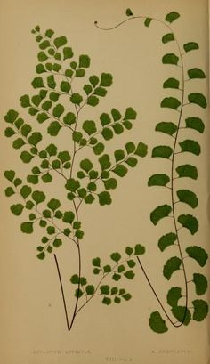 1856-60 - Adiantum Assimile Ferns: British and exotic... By Lowe, E. J. - NZ NATIVE