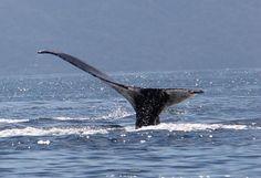 Humpback Whale tail, Whale Watching Photo Safari by Vallarta Adventures  |   Puerto Vallarta, Me
