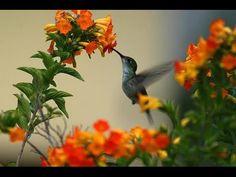 Los colibríes vuelan hacia atrás - YouTube