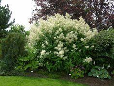 Giant Fleeceflower    https://gardeningcanuck.files.wordpress.com/2012/05/persicaria-polymorpha.jpg