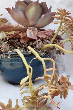 How to Fluff Your Succulents: In 5 minutes, you can transform an overgrown succulent bowl Propagating Succulents, Growing Succulents, Cacti And Succulents, Planting Succulents, Garden Plants, Indoor Plants, House Plants, Air Plants, Growing Plants