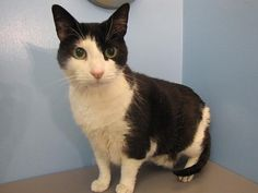 This handsome older gentleman is Figaro!  Figaro is looking for a quiet home where he can live out his retirement.  He is not very active and prefers to spend his days lounging around the house and receiving loving affectionate pets.  Figaro has lived with cats and dogs before but is hoping to be the only pet in his new home.  If you're looking for an easygoing kitty to be your loving companion then Figaro could be the guy for you.  Meet Figaro today!