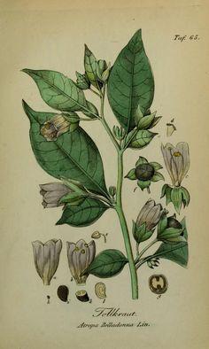 Tollkirsche, Belladonna, Sämmtliche Giftgewächse Deutschlands , Eduard Winkler, Leipzig, 1854.  Kupferstich. Biodiversity Heritage Library