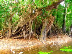 Mangrove en bordure du fleuve NYONG...Centre -Cameroun