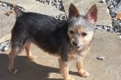 Naddie most likely a yorkie/chihuahua mix.   She's estimated to be around 7 years of age, about 7 lbs,  She is loving and enjoys lap time and never far out of your sight. She's housebroken, up to date on her vaccinations along with being...