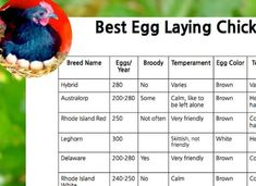 Best egg laying chickens chart laying chickens chart and egg