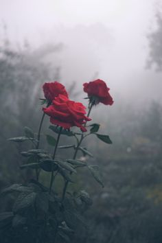 As the Misty fog flows over the ground a beautiful trio of red deep roses show there bright heads . These roses look so mysterious with the fog growing thicker and thicker behind them but they are not afraid they shine on.