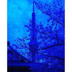 【takuyaogino109】さんのInstagramをピンしています。 《Blue TOKYO  http://instagram.com/takuyaogino109/  #写真好きな人と繋がりたい  #写真撮ってる人と繋がりたい #写真好き #ファインダー越しの私の世界 #ダレカニミセタイケシキ #discovertokyo #photooftheday  #写真  #ペンタ党  #ペンタックス  #PENTAX  #pentaxk5  #justgoshoot #桜  #自然  #myworld_in_blue  #my_world_in_blue  #樹 #青  #植物  #東京 #木 #cherrytree #東京タワー #tokyotower #タワー  #tokyo #タワー #碧 #夜明け #明け方》