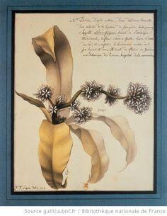 Planche de botanique :   dessin   Jn Js Lequeu delin. 1779