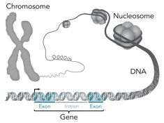 Genes known to be essential to life—the ones humans need to survive and thrive in the womb—also play a critical role in the development of autism spectrum disorder (ASD), suggests a new study from Penn Medicine geneticists . Genome Project, Electron Microscope, National Academy, Academy Of Sciences, Quantum Mechanics, Autism Spectrum Disorder, First Humans, Nanotechnology
