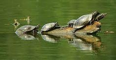 kaplumbağalar - Google'da Ara