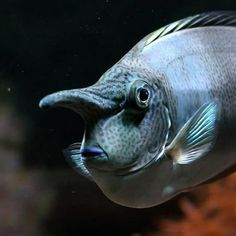 This is Naso brevirostris, known as the spotted unicorn among other names. Its prominent nose is actually a horn. It can also change color to suit its mood (eg it turns dark grey when stressed). Underwater Creatures, Underwater Life, Beneath The Sea, Under The Sea, Unicorn Fish, Deep Sea Creatures, Strange Creatures, Sea And Ocean, Sea World