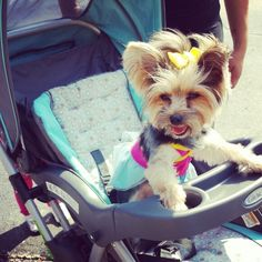 stroller tea cup yorkie. my Bella waiting relaxing under the sun for her brother 8*19*13